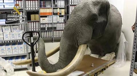 Incautadas diversas partes de un elefante africano en Navarra