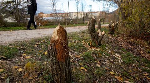 Árboles 'talados' por los castores en el parque fluvial