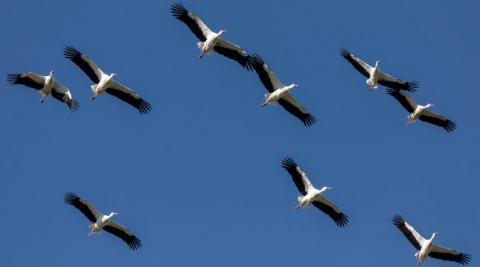 Una bandada de cigüeña blanca surca el cielo de Navarra