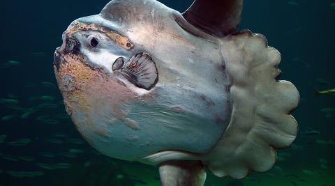 Un ejemplar de pez luna.