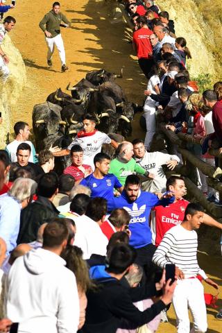 Las vacas de la ganadería Eulogio Mateo, de Cárcar, protagonizan el séptimo encierro del Pilón de fiestas de Tafalla 2018, en el encierro más masificado de público y corredores.