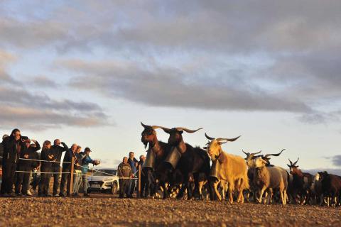 Las ovejas pirenaicas vuelven a Bardenas