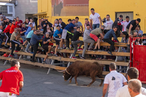 Toro con soga en Lodosa.