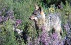 La protección del lobo es una oportunidad para las zonas rurales