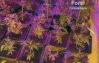 Detenido un vecino de Burlada por tener una plantación de marihuana en su piso