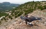 Liberada en las Bardenas un águila real tratada en Ilundáin