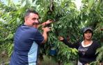 Las lluvias reducen un 15% la producción de cereza de Milagro