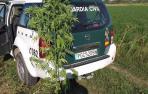 La Guardia Civil interviene cinco plantas de marihuana en unos campos de Buñuel