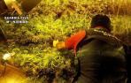 Localizado un cultivo con 253 plantas de marihuana en una vivienda de Almería