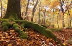 Imagen de un bosque de hayas en época otoñal