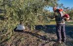 La mayor cosecha del trujal Mendía depara 11,3 millones de kilos de oliva