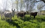 Diez burros para el control herbáceo en Falces