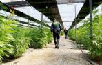 Dos detenidos e incautadas 64.800 plantas de marihuana en El Ejido