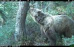 El número de osos del Pirineo crece de 8 a 64 en los últimos 30 años
