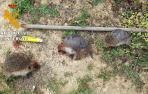 Dos denunciados por matar a dos erizos protegidos para comérselos