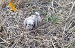 La Guardia Civil rescató 2 crías de águilucho Cenizo en una finca que estaba siendo cosechada en Pueyo