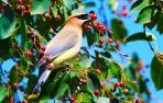 Un ampelis americano, un ave frugívora, comiendo en un árbol