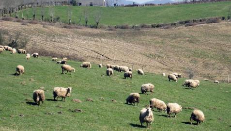 El Gobierno concederá subvenciones a los ganaderos de oveja