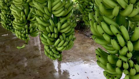Imagen de bananas
