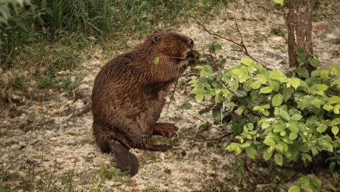 Imagen de un castor captada la pasada primavera en el entorno del río Arga por un técnico de la Mancomunidad