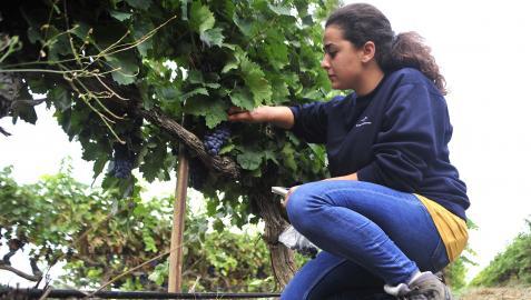 Aránzazu Villanueva analiza la previsión del grado de la uva en viñedos de Olite