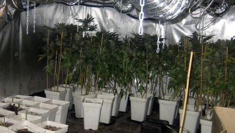 Desmantelado en Valencia uno de los mayores invernaderos de marihuana