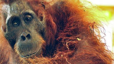Muere un orangután hembra con más de cuarenta perdigones
