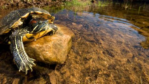 Los galápagos exóticos, de mascotas a especies invasoras en Navarra