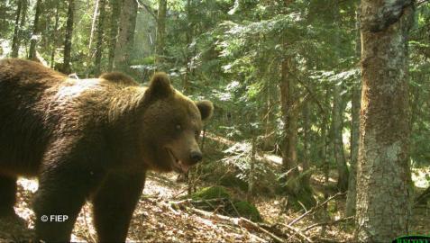 Reclaman a Navarra apoyo urgente para evitar la extinción del oso
