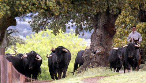 Los toros de Puerto de San Lorenzo en la finca salmantina de Puerto de la Calderilla.