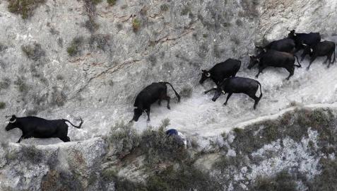 Las vacas de la ganadería Teodoro Vergara, de Falces, protagonizan el octavo encierro del Pilón de fiestas de Tafalla 2018, con varios corneados y vacas escapadas