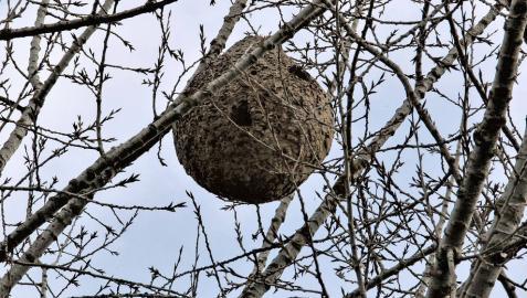 Alertan de nidos de avispa asiática en la Magdalena y Lezkairu