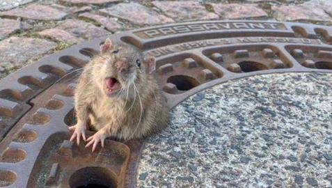 La rata atrapada en una alcantarilla en Alemania.