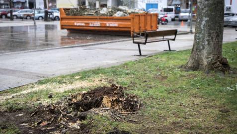 El chopo que cayó el martes fue troceado  y depositado en un contenedor. Ayer se talaron otros dos.