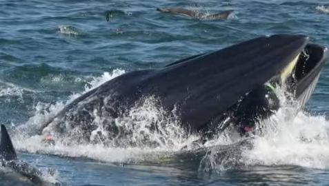 Momento en el que la ballena se traga al buceador.