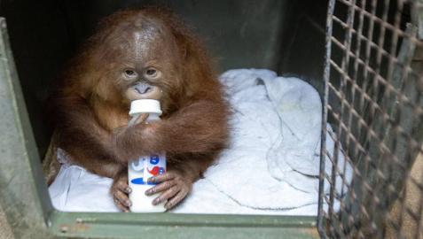 Hallan un orangután en una maleta en el aeropuerto de Bali