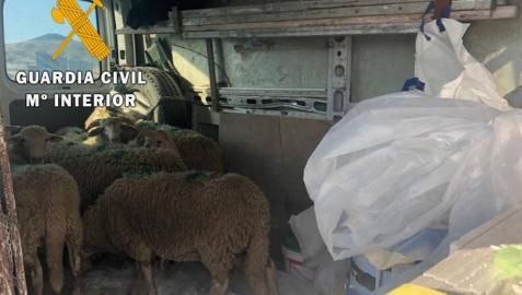 Sancionado por transportar 8 corderos vivos en el interior de una furgoneta