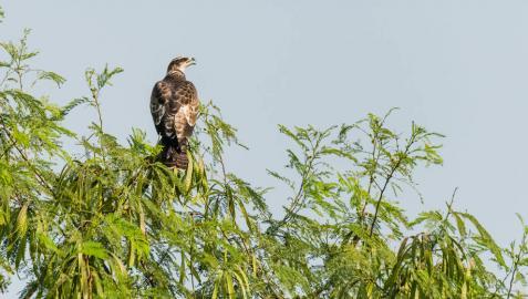 Fotografía del halcón abejero