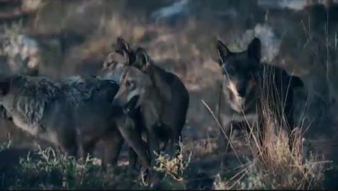 España se encamina a prohibir la caza del lobo ibérico