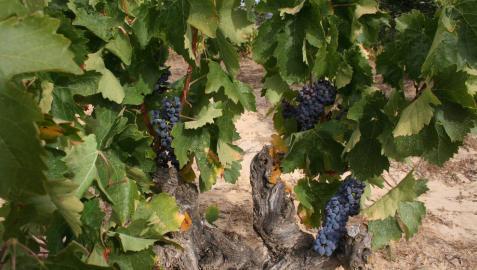 Las 'zoca- zarra', viñedos antiguos para combatir el cambio climático