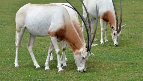 Dos ejemplares de oryx blanco.