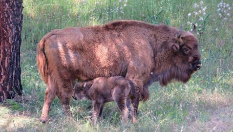 Nace en la Sierra de Andújar el primer bisonte europeo andaluz