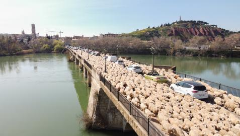 Un rebaño de ovejas cruza el puente del Ebro de Tudela entre los coches que también circulan por el mismo.