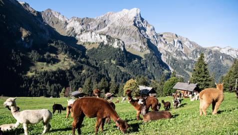 Llamas y alpacas pastando en los Alpes suizos